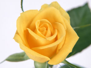 yellow rose flowers wallpapers (2)